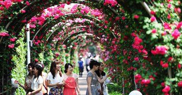 Lễ hội Hoa hồng - iVina Edu